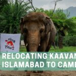 Relocating Kaavan From Islamabad to Cambodia - Kaavan Health Checkup
