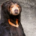 Sun Bears of Borneo The Smallest bears
