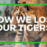 How We Lost Our Tigers